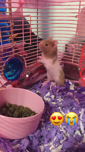 *new price, really need gone* FEMALE SHORT HAIRED HAMSTER