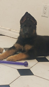 German Shepard Puppy For Sale