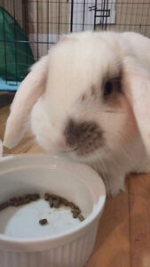 Beautiful Young Holland Lop Bunny for Sale
