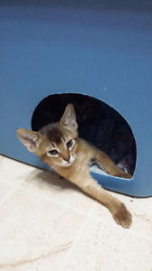 Ruddy Abyssinian Kitten. Free del between Windsor and Toronto