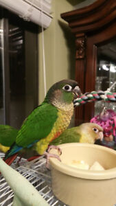 Pineapple and Yellowsided Conures
