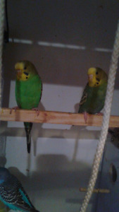 5 green adult Budgies for sale  $15:00 each  need gone ASAP