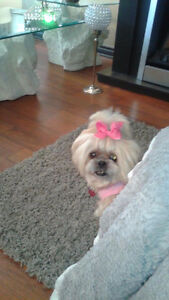 We are looking to purchase a shih tzu