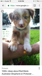WANTED- Red Merle Miniature Australian Shepherd puppy