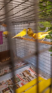 3 canaries and small cage for $100