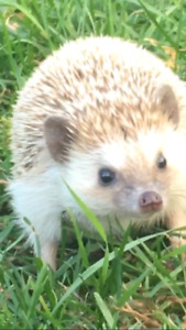 Hedgehog + Belongings - Click Here For More Info