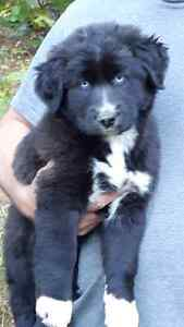 1 female mixed breed pups