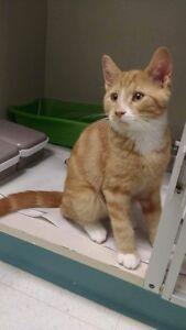 """Tyrion"" - Playful Male Orange & White Kitten Kingston Kingston Area image 5"