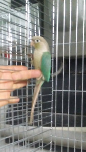 Conure canelle turquoise