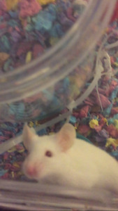 Free white pet mouse with everything included