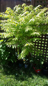 SALE - Willow trees, blackberry plants, Tiger Eye trees