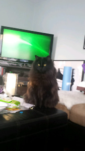 Black cat missing from Dover