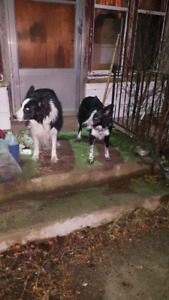 Pure Bred Border Collie Puppies For Sale