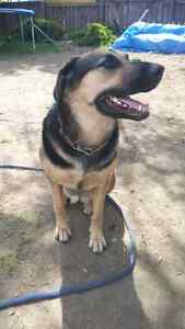 Looking for Male Shepard Sire