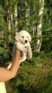 English Golden Retriver puppies for sale