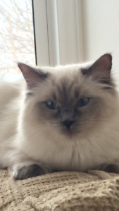 Rehoming Himalayan and Rag Doll Cats