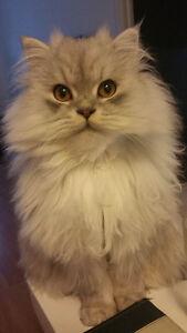 Hubble - Lost Cat - Male White/Grey Persian