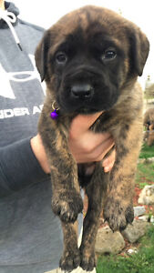 READY TO GO - Pure Bred English Mastiff - ONLY 1 BRINDLE LEFT