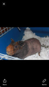 Male Skinny Pig (brown hairless guinea pig)