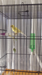 yellow female canary small breed