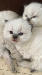 GORGEOUS BABY RAGDOLL KITTENS! Only 3!