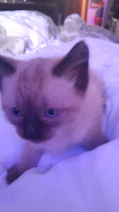 BLUE EYED KITTENS! Trained and ready to go