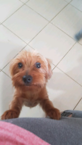 Yorkie pups Nov. Dont ms now