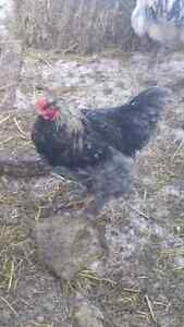 Brahma and orpington roosters