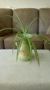 LARGE SPIDER PLANT with PLANTER/  POT ...VERY HEALTHY