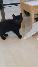 Gourgeous black kittens (2 left) !!!