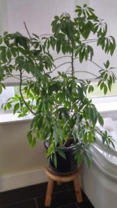 Beautiful Big Umbrella plant in High quality pot