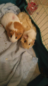 Two Guinea Pigs need FOREVER HOMES