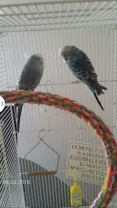 ENGLISH BUDGIES FOR SALE with cage