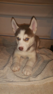 Siberian Husky Puppies - ONLY 4 LEFT!! Ready to go