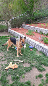 GERMAN SHEPHERD FEMALE 2.5 YRS OLD TOP BLOOD LINES PERFECT DOG