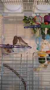 must sell - young zebra finches