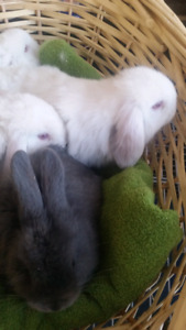Beautiful Mini Lop bunny rabbits ready now for forever homes