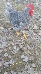Barred Rock roosters for sale Moose Jaw Regina Area image 2