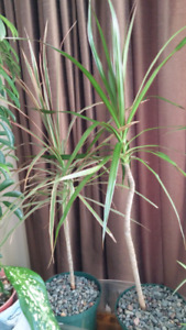 Dracaena house plant. Good for residence or office