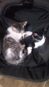 Free kittens to good home (Need gone by tomorrow)