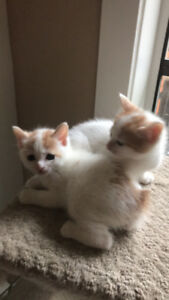 Three rare Japanese Bobtail Kittens