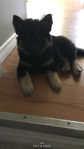 HUSKY/CHOW PUPPY FOR SALE