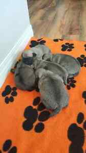 ONLY 3 PUG PUPPIES LEFT!!!!
