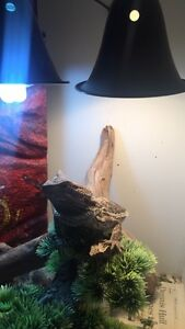 Bearded Dragon  and custom enclosure