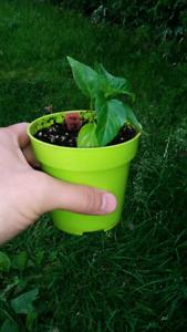 Plant de piment fort 7 Pot Bubble Gum