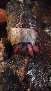 Rehome your hermit crabs