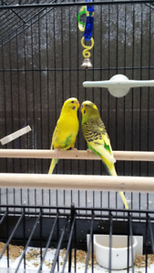 Two amaizing budgies with cage and accessoires