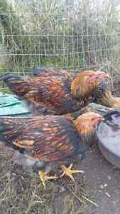 golden laced wyandotte rooster