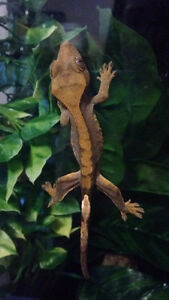 Young Crested Gecko