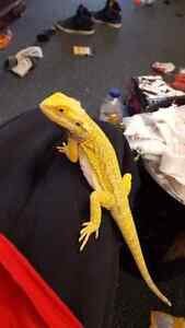 Wanted yellow female bearded dragon will pay handsomely